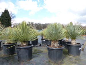 Yucca Rostrata 20 cm Stamm blaublättrig Kugel, extra winterhart