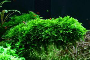 Aquarium Pflanze Moos Vesicularia dubyana Christmas Tropica Nr.003A TC in Vitro