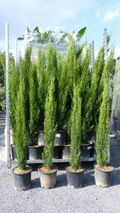 3 x Mittelmeerzypresse Cupressus Sempervirens Totem 70 - 90 cm Toskana Zypresse