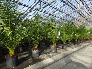 Palme 110 - 130 cm, Phoenix canariensis, kanarische Dattelpalme, kräftige Palmen, keine Jungpflanzen