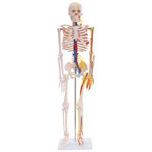 Anatomie Modell Skelett mit Nerven und Arterien Anatomy Skeleton Menschliches Skelett verkleinert 87 cm mit Ständer medmod