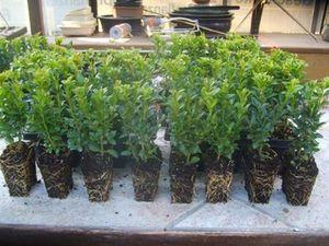 Buxus sempervirens 50 Stück Buchsbaum 6-15 cm Größe veränderlich Hecken Buchs