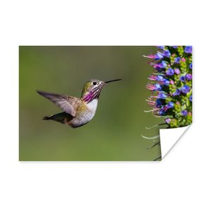 Poster - Ein Kalliope-Kolibri im Flug - 90x60 cm