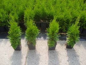 Smaragd 20-30 cm 1 Stück Thuja Lebensbaum  T9x9  Hecken 4260238310999