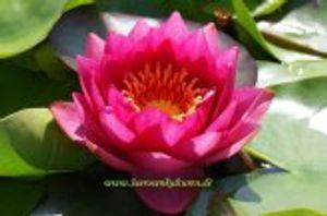 2 SEEROSEN der Sorte James Brydon, rote Blüten