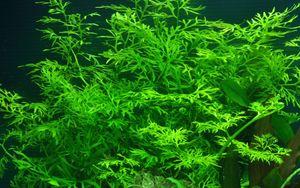 Aquarium Pflanze Ceratopteris thalictroides Tropica Nr.005A