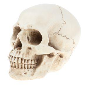 Lebensgroßer Menschlicher Kopf Schädel Skelettmodell Anatomische Referenz Für Künstler
