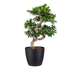 Bonsai von Botanicly – Bonsai in schwarzem Übertopf als Set – Höhe: 70 cm – Ficus Gin Seng