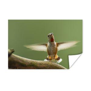 Poster - Ein Kalliope-Kolibri auf einem Zweig - 60x40 cm