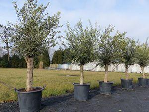 Olivenbaum 160 - 190 cm, 45 Jahre alt, 30 - 40 cm Stammumfang, winterharte Olive