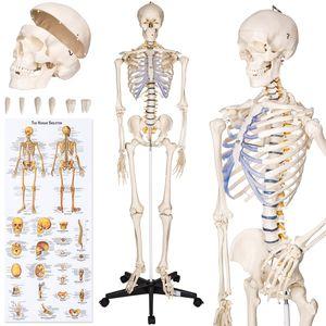 tectake Anatomieskelett - weiß