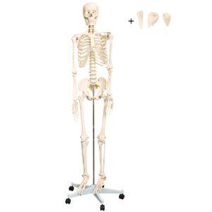 Anatomie Modell Skelett Lebensgross Anatomy Skeleton Menschliches Skelett lebensgroß 175 cm mit Ständer medmod