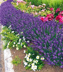 "Winterhart Lavendel ""Blue Jeans"", 3 Pflanzen duftend Gartenstaude Lavendula"