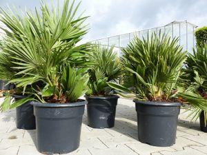 Palme 'Vulcano' 70 cm Zwergpalme Chamaerops Humilis, winterhart bis -12°C