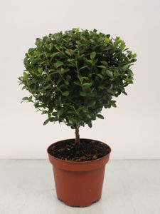 Bonsai von Botanicly – Kapmyrte – Höhe: 30 cm – Myrsine africana