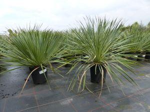 Yucca Rostrata 80 cm blaublättrig Kugel, extra winterhart, Ø Pflanze 60 - 80 cm