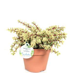 Bonsai von Botanicly – Jadebaum – Höhe: 20 cm – Portulacaria afra variegata
