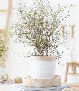 """Maori® Sophora Cotoneaster """"Little Baby"""",1 Pflanze Zimmerpflanze Schnurbaum"""