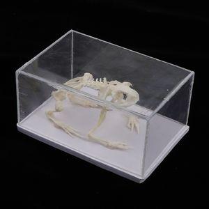 Biologie Frosch Modell, Pädagogisches Kinderspielzeug Naturwissenschaftliches Spielzeug