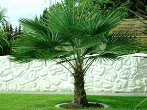 Trachycarpus fortunei Hanfpalme bis 150 cm Höhe Freilandzucht. Frosthart bis -18