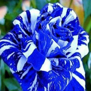100 Stücke Seltene blaue Blumensamen Gartenpflanze für Deko