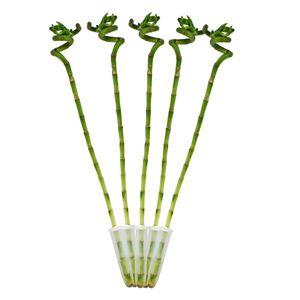 5er Set Glücksbambus 'Lucky Bamboo' - spiralförmig - im Röhrchen - Dracaena Sanderiana - ca. 50 cm hoch