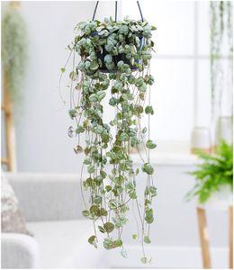 Leuchterblume Ceropegia,1 Pflanze
