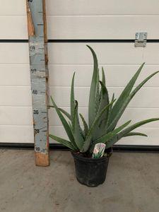 Aloe Vera Pflanze Sonderposten 50-60 cm - echter Aloe Vera - Zimmerpflanze