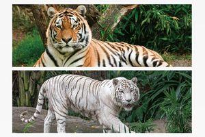 1x 3D Lesezeichen Tiger 15x5cm Tiere Wackelbild Wackelkarte Buchzeichen Bookmark Bücher Buch Raubkatze