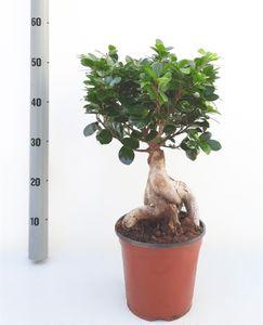 Bonsai von Botanicly – Chinesische Feige – Höhe: 50 cm – Ficus microcarpa