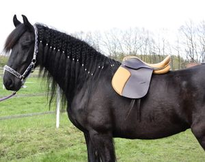 Dressursattel Oxford 16 Zoll Leder Pferdesattel Pferd Dressur Sattel Pony Shetty, Kammerweite:15.5 cm