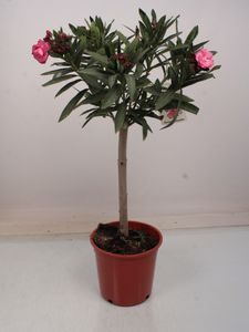 Baum von Botanicly – Oleander rosa – Höhe: 95 cm – Nerium