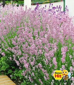 Duft-Lavendel 'Rosa' echter Lavendel, 3 Pflanzen Lavandula angustifolia Duftlavendel