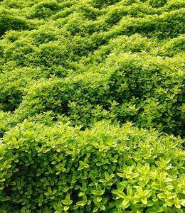 Bodendecker Zitronenthymian; 3 Pflanzen Thymus citriodorus aureus Polsterthymian Thymian Pflanzen winterhart