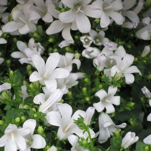 1 getopfte Pflanze weiß blühend in Gärtnerqualität, weißer Garten