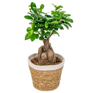 Bonsai Baum   Ficus \'Ginseng\' pro Stück mit dekorativem Korb - Zimmerpflanze cm15 cm - ↕35 cm