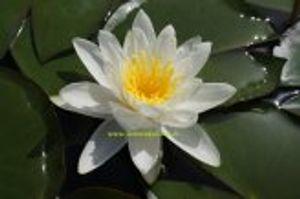 1 SEEROSE der Sorte Hermine, weisse Blüte