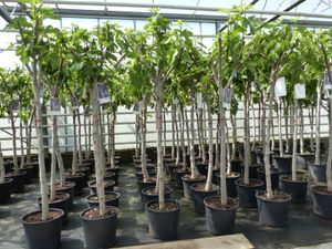 Feigenbaum 180 cm Obstbaum winterhart kräftiger Stamm, Ficus Carica, Feige, Obst