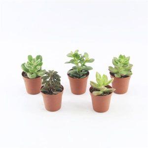 20 Sukkulenten im 5,5er Topf, 5 Sorten 8-15 cm - LE Succulenten