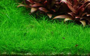 Aquarium Pflanze Eleocharis acicularis 'Mini' Tropica Nr.132B TC in Vitro