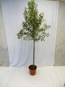 [Palmenlager] XXL Olivenbaum/Olea europea 190/210 cm Hochstamm mit breiter Krone und vielen Früchten