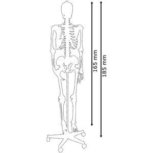 Menschliches Skelett lebensgroß inkl. Ständer von MedMod