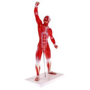 Menschliches Muskel  Und Skelett Anatomie Modell, 1:4 Maßstab Menschlicher Torso Körper Modell Anatomische Modelle,  Lehrmittel