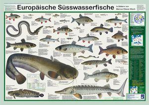Europäische Süsswasserfische Poster, deutsch DIN A1 59,4 x 84,1 cm