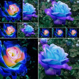 80  Stücke Samen Seltene Blau Rosa Rosen Balkon Garten Topf Rose Pflanzensamen