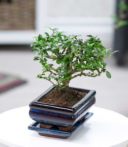 Bonsai Carmona Fukientee mit Schale, 1 Pflanze Zimmer Bonsai