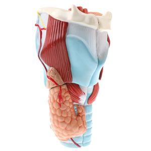 Vergrößertes Humanes 5 Teiliges Pharynx Kehlkopf Anatomisches Modell Schullehrwerkzeug
