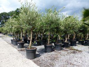 Olivenbaum Olive 'Angebot' 160 - 180 cm, beste Qualität, winterhart, Olea Europaea