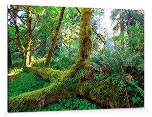Wälder Poster Leinwandbild Auf Keilrahmen - Riesen-Wurzeln Im Regenwald (120 x 180 cm)