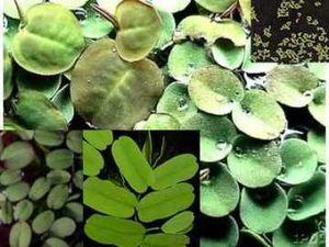 20-25 Schwimmpflanzen Mix, 4 Sorten, gegen Algen